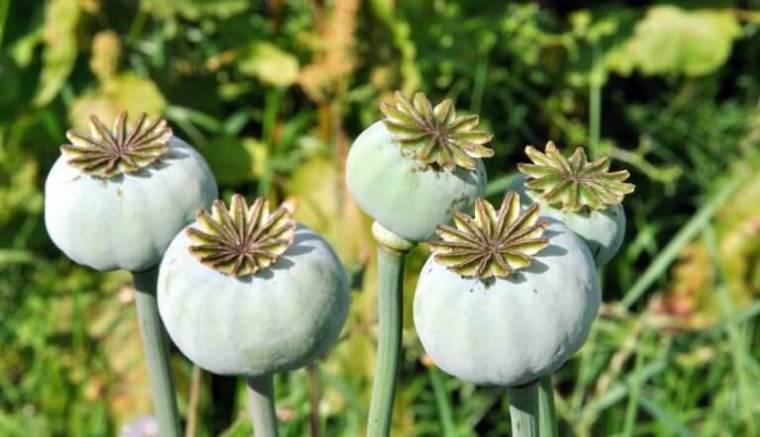 opium vert